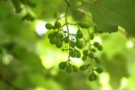 Grapes on the vine. Immature fruit in summer. Green vegetarian temma. Stock background, photo 免版税图像