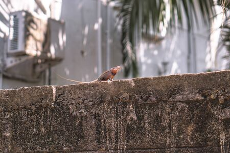Chameleon on a concrete wall is disguised as an environment. Lizard in Asia is a pet. Stock photo background Foto de archivo - 132108124