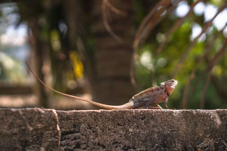 Chameleon on a concrete wall is disguised as an environment. Lizard in Asia is a pet. Stock photo background Foto de archivo - 132107758
