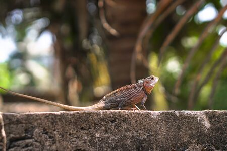 Chameleon on a concrete wall is disguised as an environment. Lizard in Asia is a pet. Stock photo background