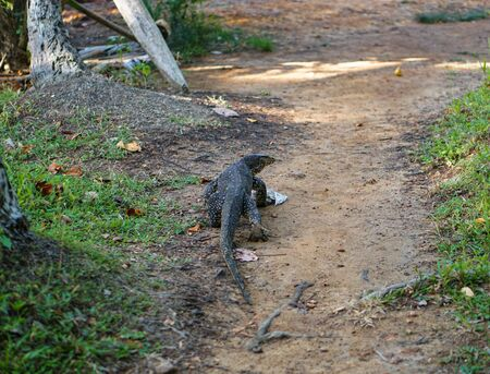 Varan on nature in Asia. Lizard in the open air in Sri Lanka. Stock photo landscape Zdjęcie Seryjne