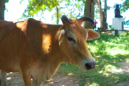 Cow on the nature outdoors. Mammals in Asia. An animal on the island of Ceylon or Sri Lanka. Stock photo