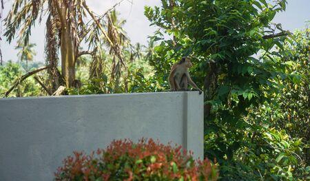 Funny wild monkey in the nature of Asia. Types of Sri Lanka. Tourist routes of tropical fauna. Stock photo