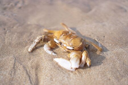 Crab on the beach of the sea is crawling in the sand. Asia and its nature.