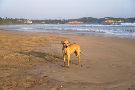 Beautiful dog by the sea or ocean. An animal on the shores of the Indian Ocean in Shrilanka. The pet walks free.