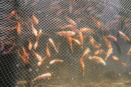 Red sea fish in a fishing net. Seafood their catch. Stock photo