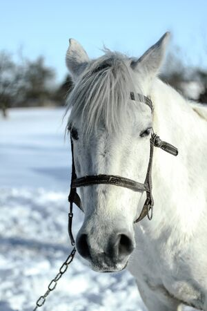 Beautiful white-gray horse in the winter at the farm. New Year's landscape with a noble animal. Christmas theme