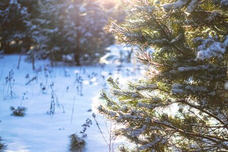 Beautiful winter background with pine in a snowy forest. Beautiful Christmas trees in a snowdrift and snowflakes. Stock photo for the new year Stok Fotoğraf