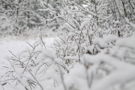 Beautiful tree branches in the snow. Winter composition in nature in snowdrifts. Christmas and New Year background.