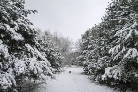 Beautiful winter landscape in a snowy forest. Beautiful Christmas trees in a snowdrift and snowflakes. Stock photo for new year