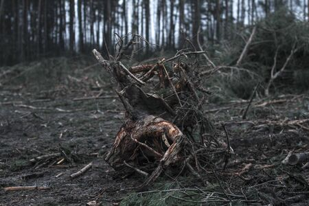 Harvesting firewood in the winter-autumn forest. Swamp from sawmill technique and environmental disaster. Destruction of fauna and flora