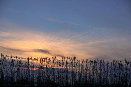 Bulrush on the lake at sunset. River landscape at sunrise. Graphic background 版權商用圖片