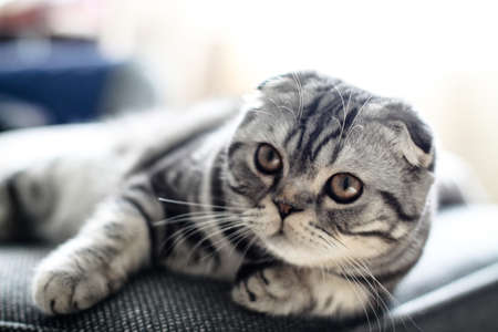 Beautiful pet is playfully looking. Scottish fold cat plays in the afternoon. Stock photo background