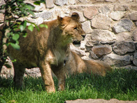 Wild animal in nature. Lioness looking for food for her pride. Stock image for design.