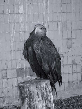 beautiful proud eagle sits on a stump in search of prey. A bird in the city is looking at the camera. Stock photo background.
