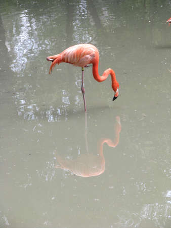 Flamingos stand in the water in search of food. Beautiful couple of birds in tropical countries. Stock photo background