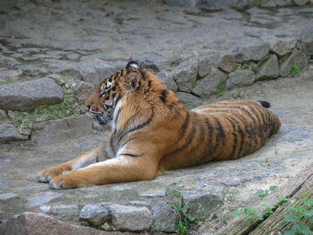 Beautiful predator in nature. The tiger is ambushed in search of a prey. Livestock in the wild in close proximity to civilization.