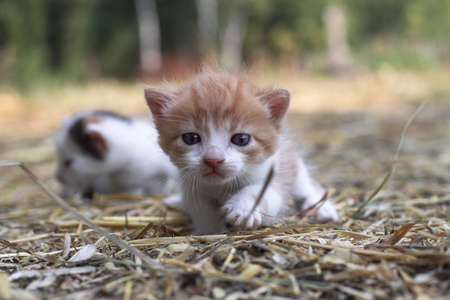 Newborn cats play in nature. A kitten at a young age for the first time in nature without a mother. Beautiful stock background for design. 스톡 콘텐츠