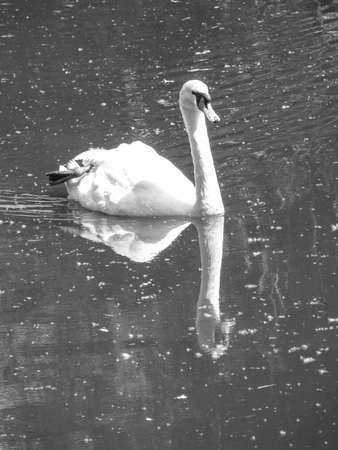 Beautiful white swan on the lake. A large bird swims on the river. Stock photo for design. Banco de Imagens