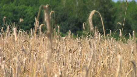 Ripened wheat on the field in the sun. Farm stock background for design.