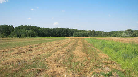 Mowed hay on the field on a sunny day. Harvesting food for animals for the winter. Stock photo background.