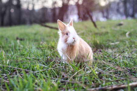 Beautiful decorative domestic rabbit on a meadow eats. A pet in the wild in the open air. Stock background for design Фото со стока