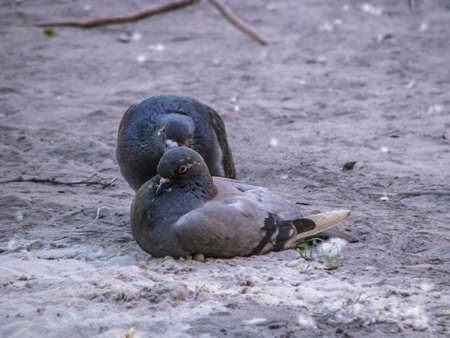 Beautiful dark pair of pigeons mating game. Birds play on the ground. Stock romantic background. Фото со стока - 157857258