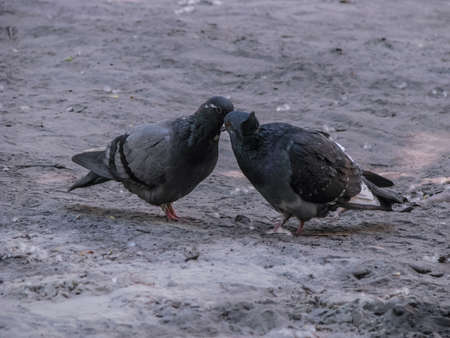Beautiful dark pair of pigeons mating game. Birds play on the ground. Stock romantic background. Фото со стока