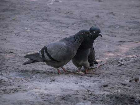 Beautiful dark pair of pigeons mating game. Birds play on the ground. Stock romantic background. Banco de Imagens