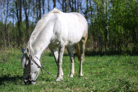 Beautiful racehorse on a pasture in the village. Horse in nature near the forest. Stock background for design