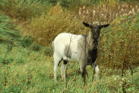 Goat on a farm in the village on a background of green pasture. The animal eats grass in the summer and autumn. Stock photo background
