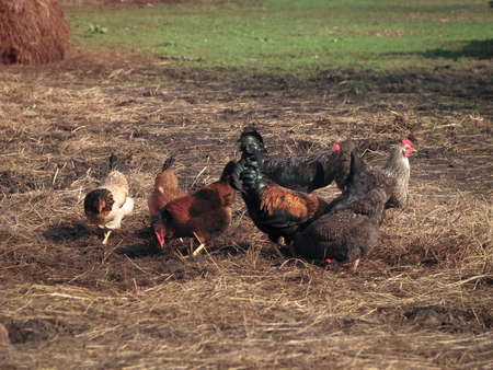 Rooster and hens in the village on the nature. Chickens and birds at the poultry farm. Stock photo background