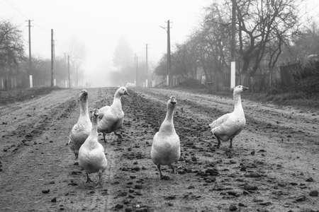 Geese in the park on the background of the lake and the road. Farm animals or ranch. Stock image about background