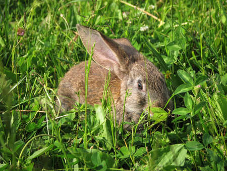 Beautiful decorative domestic rabbit on a meadow eats. A pet in the wild in the open air. Stock background for design