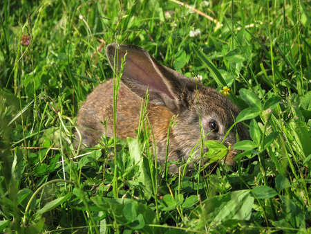 Beautiful decorative domestic rabbit on a meadow eats. A pet in the wild in the open air. Stock background for design 免版税图像