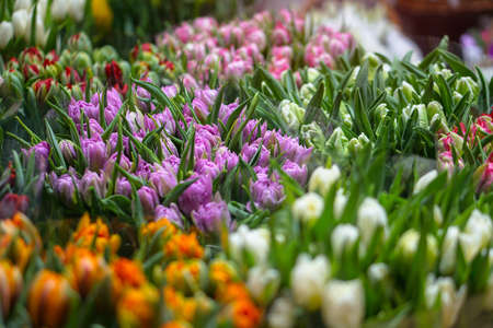 Multi-colored tulips in a store in a collected bouquet for the holiday. A gift for young women and on women's day. Field with flowers. Stock photo for business