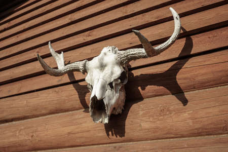 An animal's skull attached to a wooden wall. A scary cow. Archivio Fotografico
