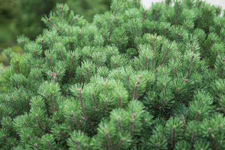 Beautiful little needles of spruce needles. New Year and Christmas background for design. Natural tree branch in nature.