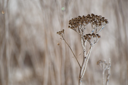 ice covered: An abstract decorative brown and white image of ice covered yarrow flowers in winter closeup Stock Photo