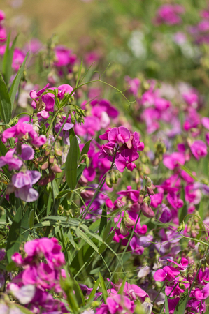 Bright pink wild vetch flowers in the summer sunshine Stock Photo