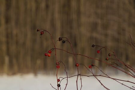 Brilliant sunlit rose hips with snow and trees background