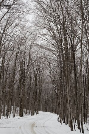 Snowy maple trees line the snowy road in a woodland.