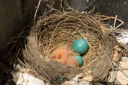 Two newly hatched robin chicks and 2 eggs in a nest in a window well