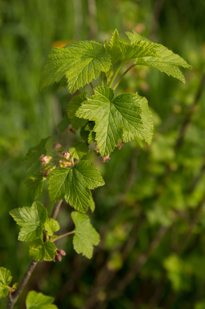 Black currant Ribes flowers in spring closeup of stems