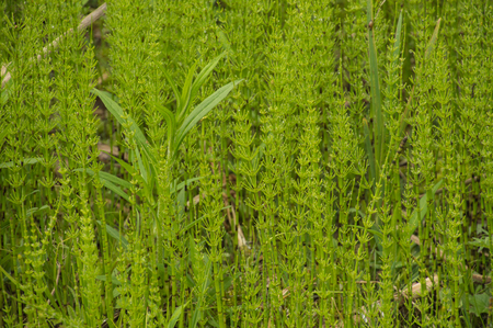 Wild herb Horsetail Equisetum growing in abundance in a wet swampy clearing