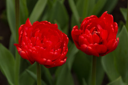 Closeup of colorful tulip flowers in springtime in the rain