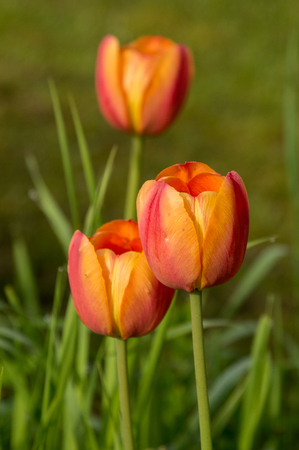 Closeup macro of spring flowers tulips floral background