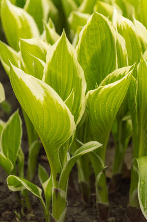 Variegated hosta leaves closeup in a natural background