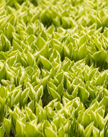 Variegated hosta leaves opening in a natural background Stock Photo
