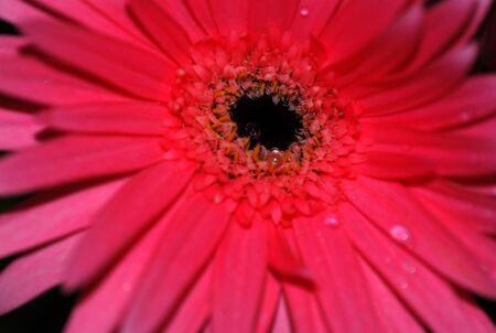 Red Gerber Daisy Stock Photo - 852514